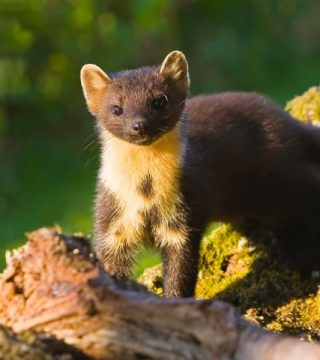 Pine Martens visit the Lodges for Supper!